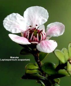 Active Manuka Honey - NPA 7+